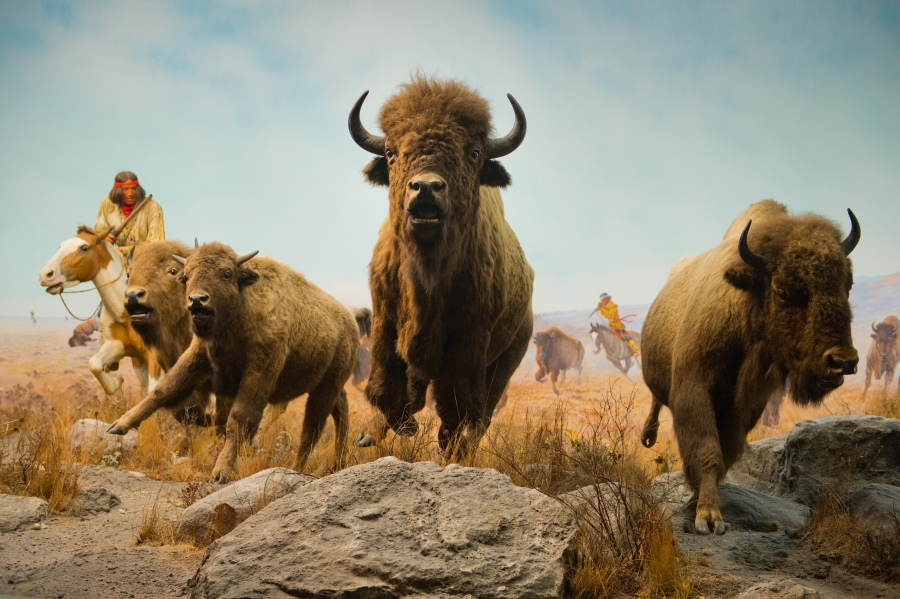 Bison hunt diorama at The Manitoba Museum (Dan Harper)